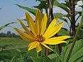 20140908Helianthus tuberosus4.jpg