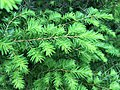 2015-05-18 13 01 04 Eastern Hemlock new growth along Terrace Boulevard in Ewing, New Jersey.jpg