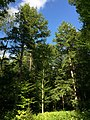 2015-08-20 16 34 40 Eastern Hemlocks near the north end of Spring Lake Road near Spring Lake in Berlin, New York.jpg