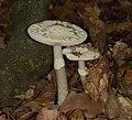 2015.10.10.-08-Viernheim--Gruener Knollenblaetterpilz.jpg
