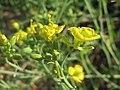 20150821Diplotaxis tenuifolia.jpg