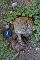 2016-03-26 Pisolithus arhizus (Scop.) Rauschert 616294.jpg