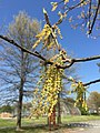 2016-04-15 15 32 15 Pin Oak catkins at Franklin Farm Park in the Franklin Farm section of Oak Hill, Fairfax County, Virginia.jpg
