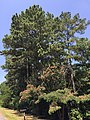 2016-07-20 11 54 11 Pines and mimosa tree along Maryland State Route 760 (Rousby Hall Road) near Hollywoods Drive in Lusby, Calvert County, Maryland.jpg