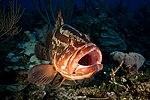 2017, cuba, jardines aggressor, los indios, nassau grouper maw (36883128693).jpg