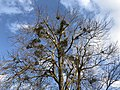 2018-02-02 16 42 01 The canopy of a large Red Maple with multiple instances of Mistletoe along Elderberry Place in the Franklin Glen section of Chantilly, Fairfax County, Virginia.jpg