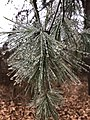 2018-02-04 13 46 44 A thin glaze of ice from freezing rain on White Pine needles along a walking path in the Franklin Farm section of Oak Hill, Fairfax County, Virginia.jpg