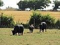 2018-07-23 Black cattle, Hungry Hill, Norfolk (1).JPG