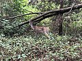 2018-09-27 13 21 47 Deer in a wooded area in the Franklin Farm section of Oak Hill, Fairfax County, Virginia.jpg
