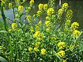 20180509Barbarea vulgaris2.jpg