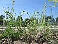 20180605Arenaria serpyllifolia.jpg