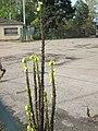 20191028Verbascum thapsus2.jpg