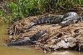 2119 Pantanal caimans JF.jpg