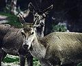 2 deers , parnitha.jpg