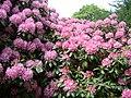 37 Rhododendron 11.05.2003.JPG