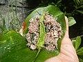 4087Ants Common houseflies foods delicacies of Bulacan 34.jpg