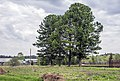4 кедра в селе Бобино Слободского района Кировской области.jpg