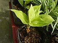 9639Ornamental plants in the Philippines 04.jpg