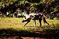 AFRICAN WILD DOG (14073203143).jpg