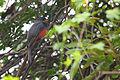 AR PN COSTA03 SANTAY AVITURISMO Ecuadorian Trogon 007 (14157030786).jpg