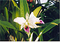 A and B Larsen orchids - Cattleya percevaliana 559-19.jpg