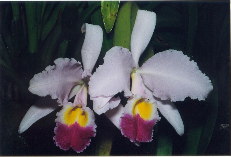 File:A and B Larsen orchids - Cattleya trianae 503-4.jpg