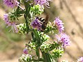 A bald faced hornet working in the Liatris planting at the East Texas PMC (25084891916).jpg