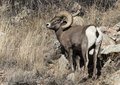 A bighorn sheep in Colorado National Monument, a preserve of vast plateaus, canyons, and towering monoliths in Mesa County, Colorado, near Grand Junction LCCN2015633070.tif