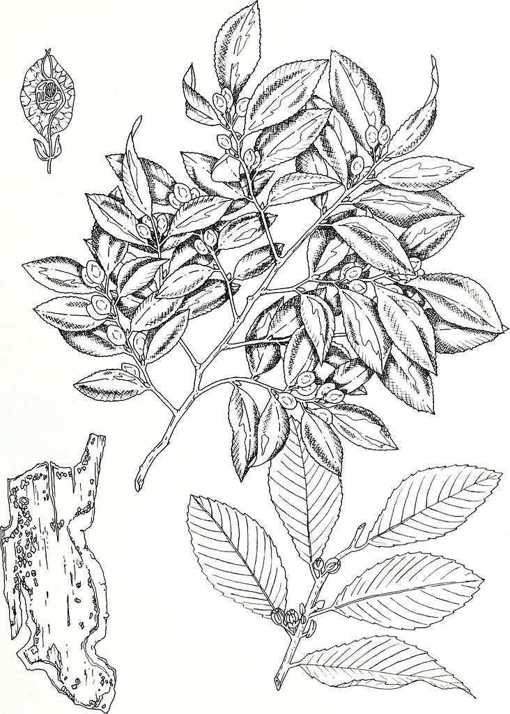 Filea Catalog Of Cultivated Woody Plants Of The Southeastern United