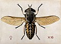 A cleg or horse fly (Tabanus glaucopis). Coloured drawing by Wellcome V0022558.jpg