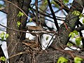 A fieldfare at the nest with chicks.jpg