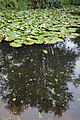 A garden lily pond Clavering Essex England 2.jpg