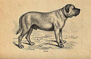 A mastiff. Wood engraving by Butterworth and Heath after T. Wellcome V0021864.jpg