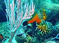 A pair of Orange File Fishes on Cobblers Reef.jpg