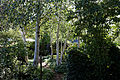 A path though Silver birch Betula pendula Capel Manor College Gardens Enfield London England.jpg