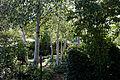 A path though Silver birch Betula pendula Capel Manor College Gardens Enfield London England.jpg