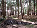 A ride in Houghen Plantation - geograph.org.uk - 1205801.jpg