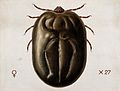 A tick (Haemaphysalis leachi). Coloured drawing by A.J.E. Te Wellcome V0022545.jpg