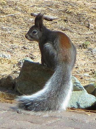 Abert's squirrel - View of an Abert's squirrel showing rusty/reddish stripe on back.