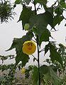 Abutilon pictum (17135194046).jpg