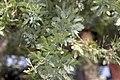 Acacia baileyana Purpurea 1zz.jpg