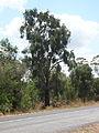 Acacia fasciculifera.jpg