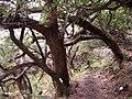 Acacia heterophylla 7.JPG