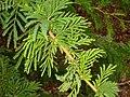 Acacia xanthophloea- Koko Crater Botanical Garden - IMG 2337.JPG