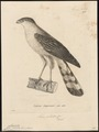 Accipiter pileatus - 1700-1880 - Print - Iconographia Zoologica - Special Collections University of Amsterdam - UBA01 IZ18300109.tif