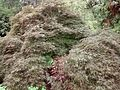 Acer palmatum 'Tamukeyama' at Coker Arboretum.jpg