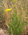 Achillea filipendula habito1.jpg