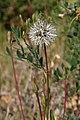 Achyrachaena mollis seedhead.jpg