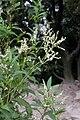 Aconogonon alpinum 1.JPG