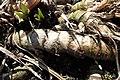 Acorus calamus kz01.jpg